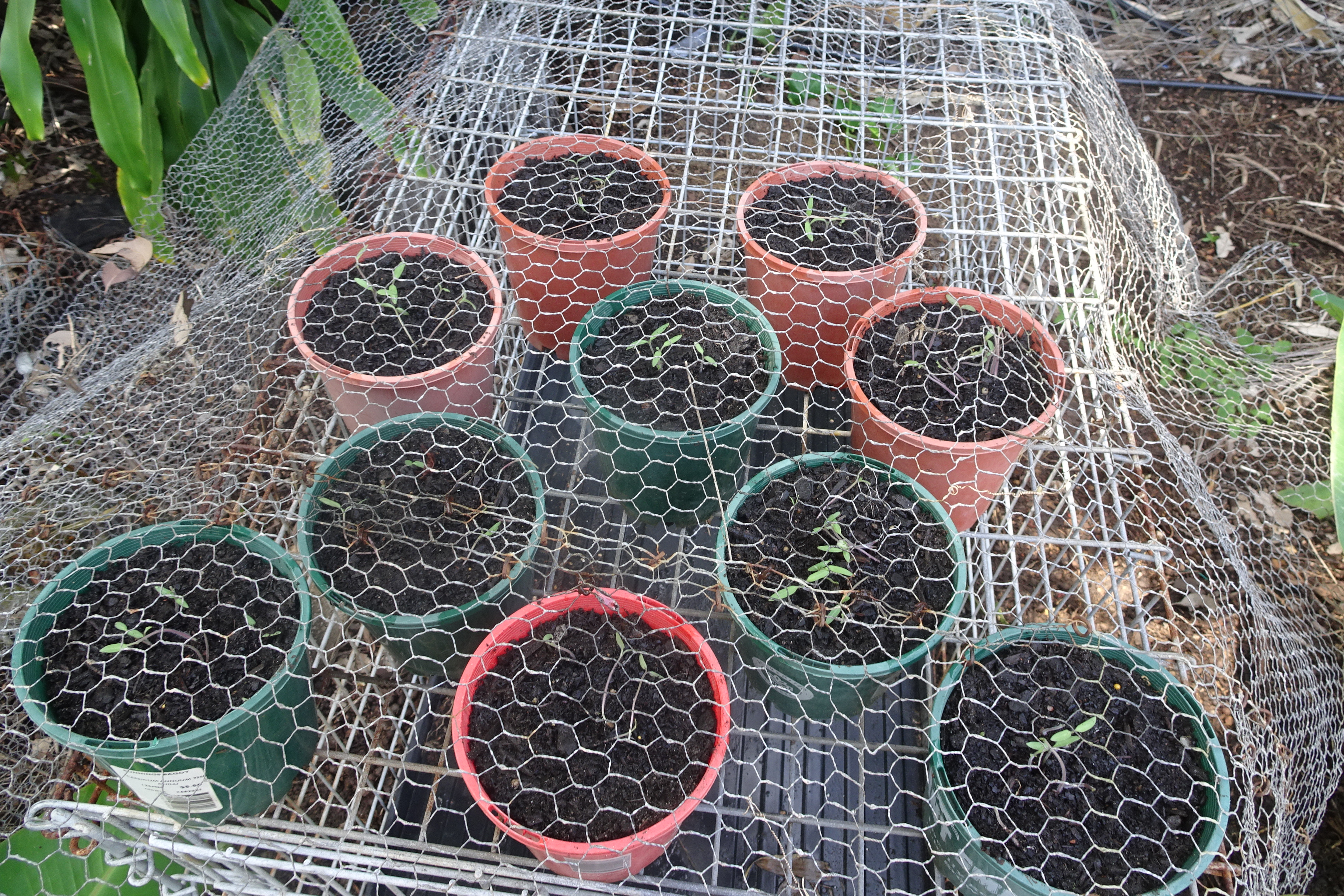 10 tomato 7.4.17